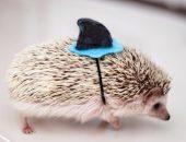 Ежик в миниатюрной шапочке