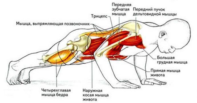 Мышечные группы, работающие при отжиманиях