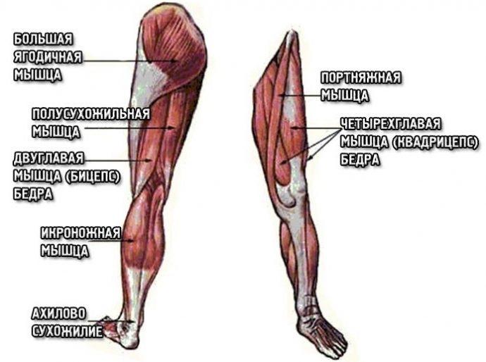 Схема мышечных групп ног