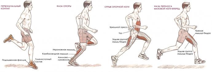 Схема мышечных групп, работающих при беге