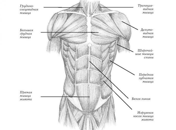 Мышечные группы