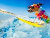 Собака сёрфер