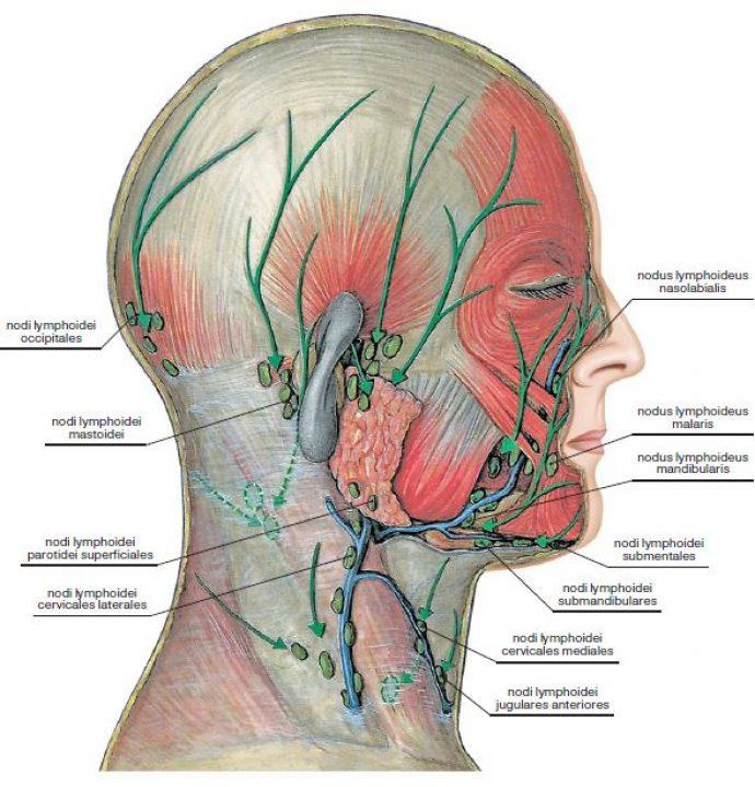 Схема лимфатической системы головы