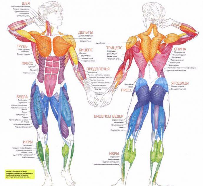 Схема: мышечный корсет человека