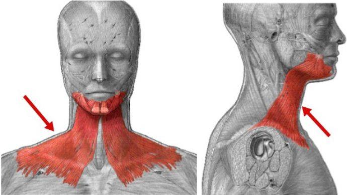 Мышцы подбородка